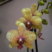 Phalaenopsis Brother Lancer