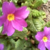 prymule -pierwsze nieśmiałe kwiatki
