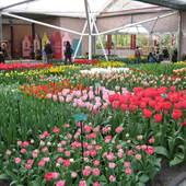 tulipan na tulipanie