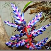 W rajskich kolorach...echmea z rodziny bromeliowatych