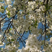 Wiśnia zakwitła