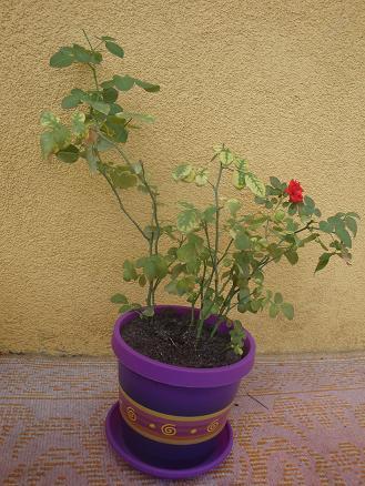 Róża miniaturka