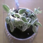 Aptenia cordifolia variegata