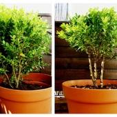 Bukszpan przed i po. Lżejszy o kilo gałęzi. Cięższy o metr drutu.