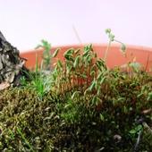Co rośnie u stóp lilaka
