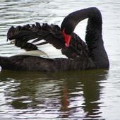 Czarna pieknosc - bardzo lubie czarne labedzie ;)