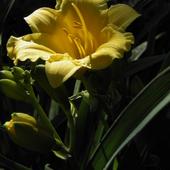 czas liliowców