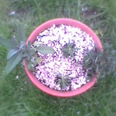 Dzisiejsze dzieło-donica z ziołami: szałwia lekarska, tymianek i rozmaryn