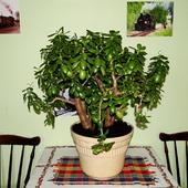 Grubosz drzewiasty – Crassula arborescens - Drzewko Szczęścia