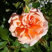 Jesienna roza ;)