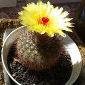Kaktusidło