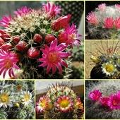 Kaktusowe słodkości