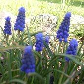 ładne kwiatuszki :  ) szafirki