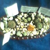 mini ogródek kaktusowy