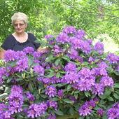 mój piękny rododendron
