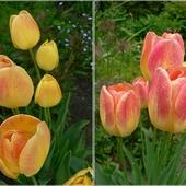 Ostatnie tulipanki i ich przemiana