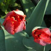 Tulipki