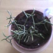 ulubieniec Rhipsalis cereuscula