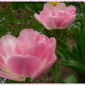 Wiesiu, Twoje urodzinowe tulipanki