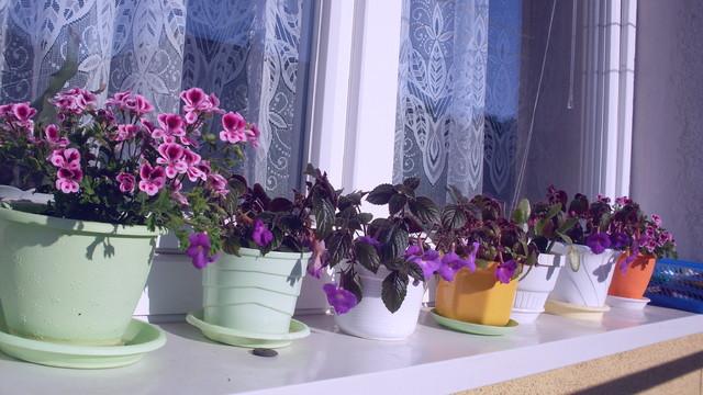 achimenesyna parapecie za oknem