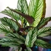Calathea ornata./ zjedzona przez przędziorki:(