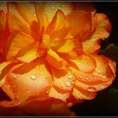 Begonia....