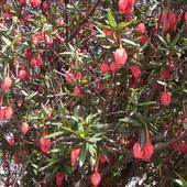 Crinodendron Hook zdjęcie z ogródka w Irlandii