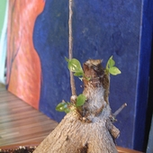 Ficus retuza-bon sai