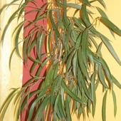 Ficus wierzbolistny