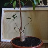 Fikus Retuza - bonsai
