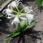 Ismena z 5 kwiatkami
