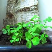 Koniczyna biała, koniczyna rozesłana (Trifolium repens)