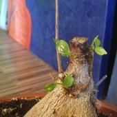 Rosną nowe listki ;) Ficus Retuza-bon sai :)