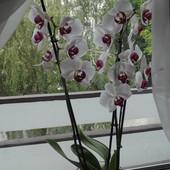 Storczyk- Orchidea