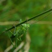 zielony grajek