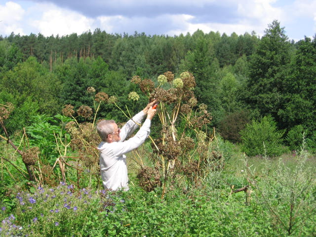 arcydzięgiel,dzięgiel litwor ( Angelica archangelica officinalis)