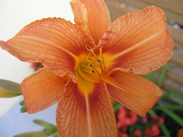 Lilowiec