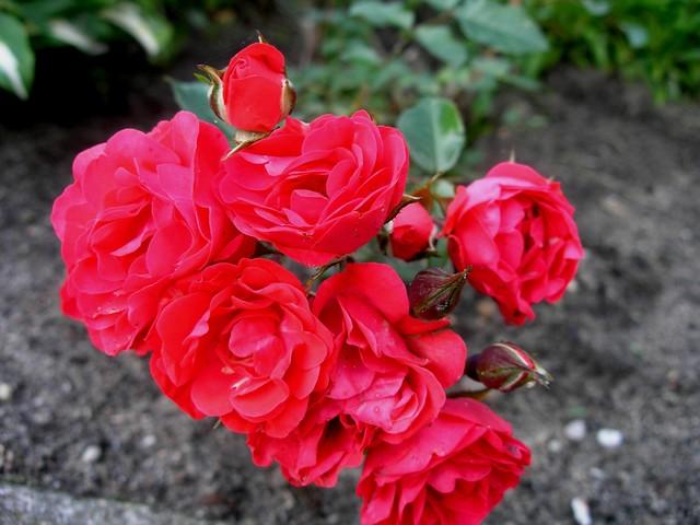 Różyczki Dla Was