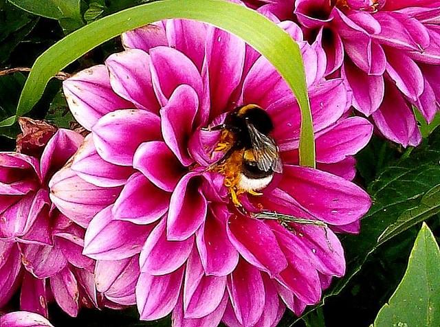 Tę pszczółkę którą tu widzicie zowią Mają. . . :)