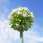 Cebulkowe kwiaty