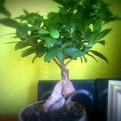 co to za odmiana bonsai
