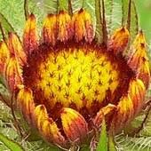 Gailardia, zaczyna kwitnienie