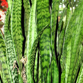 Sansewiera - Kwiat gigant :-)