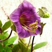 Pierwszy kwiat kobei