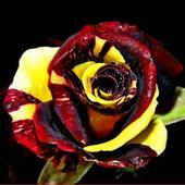 Róża dla Majki190382
