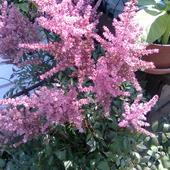 Tawułka różowa