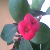 Wilczomlecz lśniący i jego małe piękne kwiatuszki.
