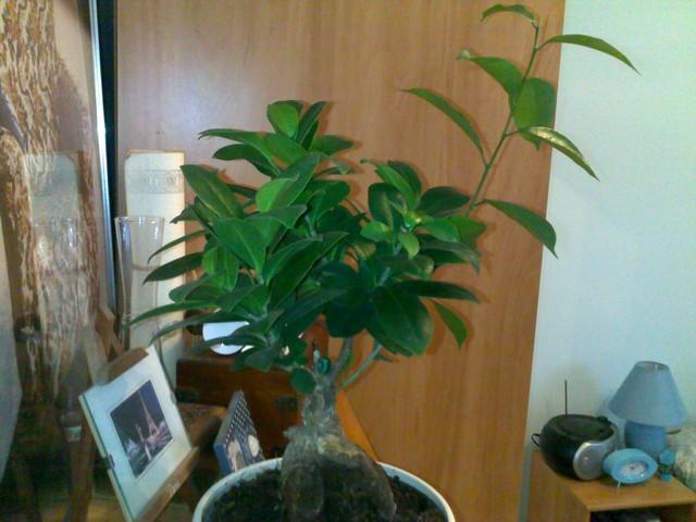Ficus retusa (ginseng) - ratunku