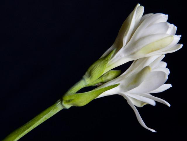 Kwiat tuberozy