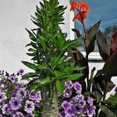 ''Kudu Lily''